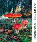 Beautiful Wild Mushroom Amanita ...