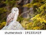 The Ural Owl Or Strix Uralensi...