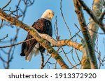 Bald Eagles Perched On A Tree...