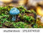 Small photo of Stropharia aeruginosa, commonly known as the verdigris agaric, Blue mushroom.is a medium-sized green, slimy woodland mushroom, found on lawns, mulch and woodland from spring to autumn.