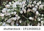 Melaleuca Or Paperbark Flowers...