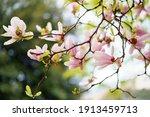 Pink Magnolia Petals Close Up...