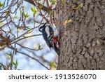 Little Woodpecker Sits On A...