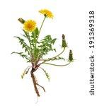 healing plants  dandelion ... | Shutterstock . vector #191369318