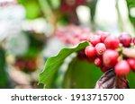 Red Coffee Fresh Bean On Tree...