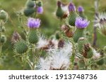 Cirsium Vulgare  Spear Thistle  ...