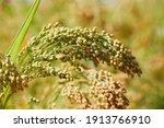 Plant Of Panicum Miliaceum ...