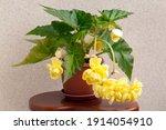 Gorgeous Yellow Begonia...
