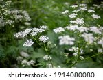 Anthriscus Sylvestris Grows In...
