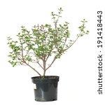 syringa meyeri palibin lilac | Shutterstock . vector #191418443