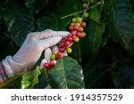 Agriculturist Hands Harvesting...
