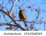 Oriental Greenfinch  Kawarahiwa ...