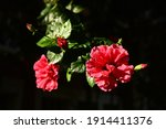 Deep Red Hibiscus Flowers With...