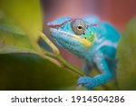 Colorful Chameleon In Nature....