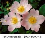 Wild Rose Hip Flower  Rosehip ...