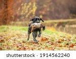 Black Labrador Retriever Is...