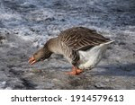 Goose Eating Snow For...