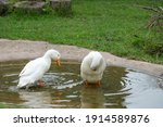 White Geese Drinking  Cleaning...