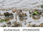 Spotted Sand Piper  Actitis...