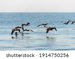 Pelicans Flying Over The...