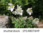 White Flowers Of Anemone With...