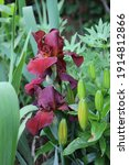 Two Bright Red Irises Among...