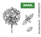 basil hand drawn illustration.... | Shutterstock . vector #1914850270