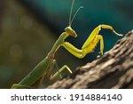 Macro Of A Green Praying Mantis ...