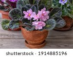 African Violets In Pots. Home...