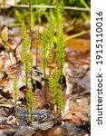 Marsh Horsetail  Equisetum...