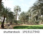 Date Palm   Tree Of The Palm...