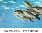 Group Of Tiger Fish