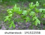 Small photo of Acer campestre, Field maple
