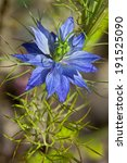 Small photo of Nigella damascena, Love-in-a-mist