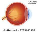 human eye anatomy diagram ... | Shutterstock .eps vector #1915445590