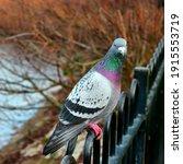 Colourful Pigeon On Rails Near...