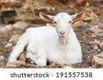 domestic white young goat   Shutterstock . vector #191557538