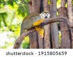 Sleepy Head Squirrel Monkey ...