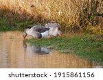 Greylag Goose Anser Anser Two...