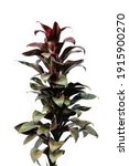Colorful Cordyline Plant On...