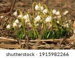 Blooming Spring Snowflake. A...