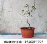 Elm. Bonsai Tree. Young Leaves