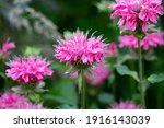 Brilliant Pink Bee Balm Plant ...