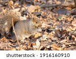 Small photo of A chubby little squirrel sitting on some leaves on the forest floor in the fall season. They like to bilk up before the winter months. They enjoy eating nuts and seeds. they are all different colors.