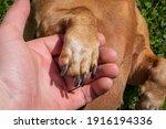 Dachshund Dog's Paw In The Man...
