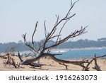 Dry Branch Of Tree On A Beach...