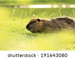 nutria | Shutterstock . vector #191643080