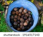 Bucket Of Freshly Picked...