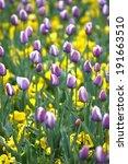bouquet of tulips in the field | Shutterstock . vector #191663510