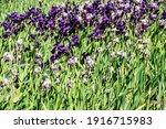 Many Purple Bearded Irises ...